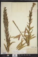 Oenothera oakesiana image