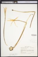 Image of Zephyranthes treatiae