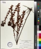 Hypericum opacum image