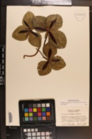 Trillium decumbens image