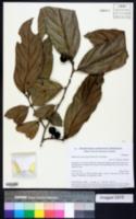 Image of Ampelocera macrocarpa
