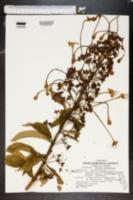 Morinda citrifolia image