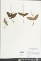 Spigelia pygmaea image