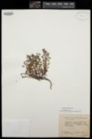 Euphorbia villifera image