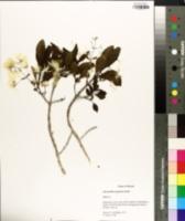 Image of Chionanthus pygmaeus