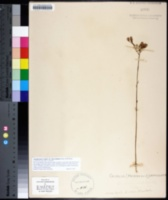 Image of Arnoglossum ovatum