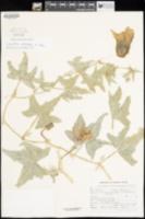Cucurbita palmata image