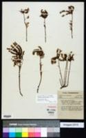 Sedum pulchellum image
