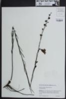 Image of Agalinis linifolia