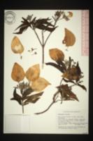 Image of Mussaenda frondosa