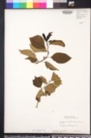 Maclura tricuspidata image