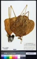 Hosta ventricosa image
