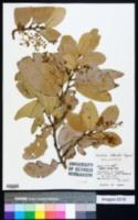 Image of Heritiera littoralis