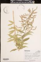Image of Aloysia triphylla