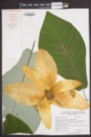 Magnolia ashei image