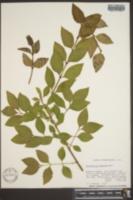Abeliophyllum distichum image
