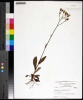 Hieracium x marianum image