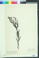 Image of Buglossoides purpurocaerulea