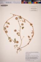 Trifolium polyodon image