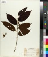 Image of Ryania speciosa