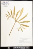Image of Dracunculus vulgaris