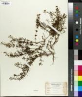 Image of Scoparia montevidensis