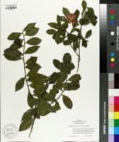 Image of Camellia reticulata