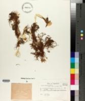 Image of Sedum dasyphyllum