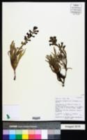Penstemon ammophilus image