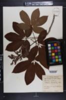 Aesculus austrina image