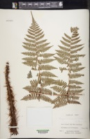 Image of Dryopteris acutidens