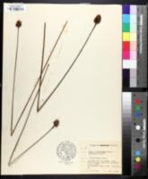 Image of Xyris iridifolia