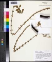 Image of Plectranthus purpuratus