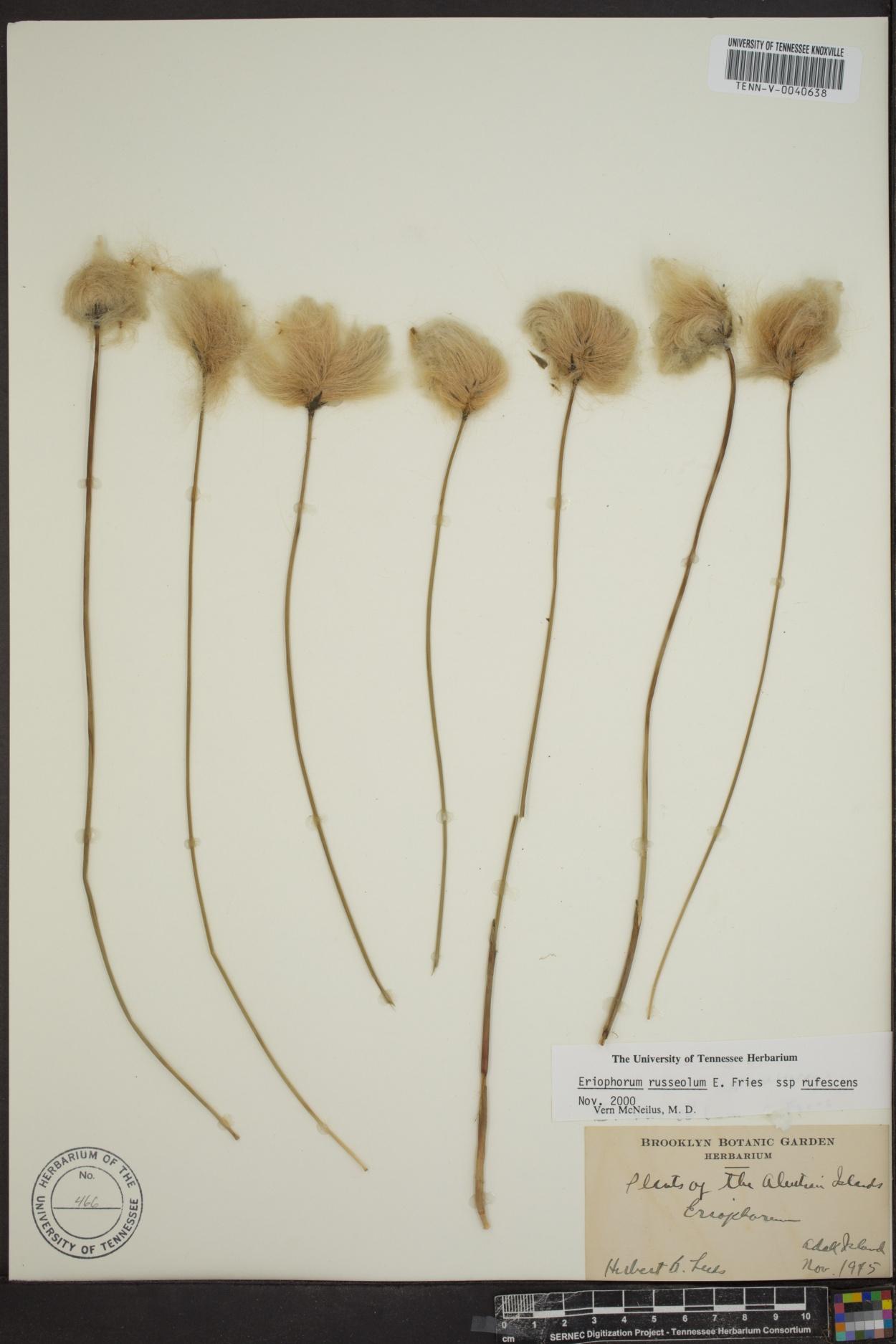 Eriophorum russeolum subsp. rufescens image