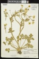 Ranunculus bulbosus image
