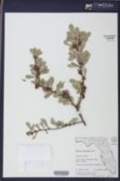 Bumelia celastrina image