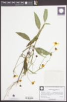 Image of Coreopsis palustris