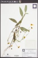 Image of Coreopsis palustris
