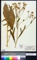 Bunias orientalis image
