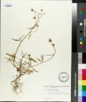 Image of Nicotiana corymbosa