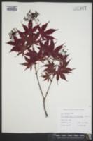Acer palmatum image