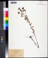 Image of Hypericum dissimulatum