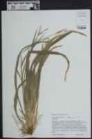 Carex striatula image