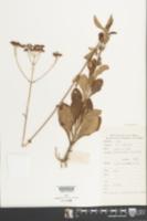 Image of Patrinia scabiosifolia