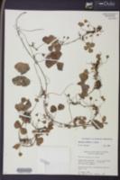 Image of Marsilea deflexa