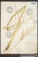 Image of Panicum elongatum