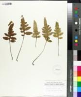 Woodwardia areolata image