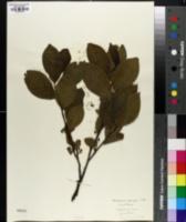 Rhamnus alnifolia image