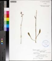 Image of Lobelia paludosa