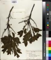 Prunus maritima image